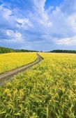 Country road in a barley field — ストック写真