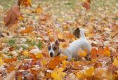 Jack russel terier — Zdjęcie stockowe