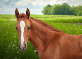 Red foal — Stock Photo