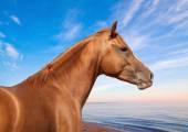 Russian Don horse  — Stock Photo