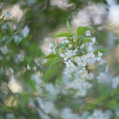Blooming branches of cherry-tree — Foto de Stock