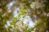 Blooming branches of cherry-tree — Stock Photo