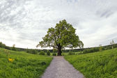 Oak tree — Stock Photo