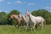 Akhal Teke horses — Stock Photo