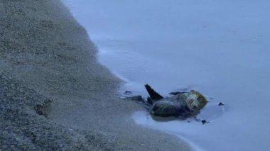 Dead bird is floating — Stock video