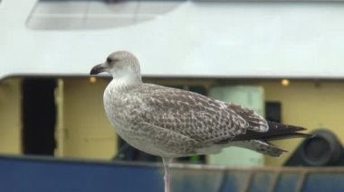 Seagull in the fishing port — Stockvideo