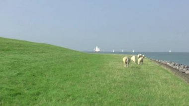 Sheeps grazing on dike of Ijssel lake — Stock Video