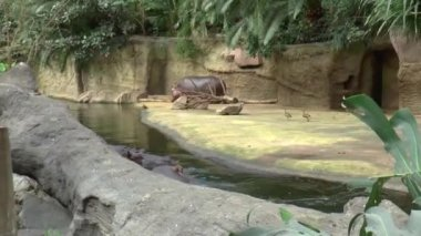 Hippopotamus in the zoo of Cologne — Vídeo stock
