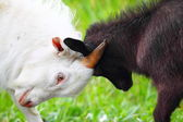 Adult and young goats fighting with their heads — Stock Photo