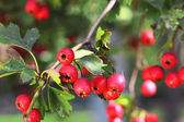 Espino madura en otoño — Foto de Stock