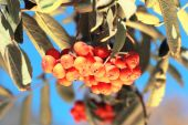 Ashberry with leafs — Stock Photo