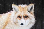 Portrait of a golden fox, Vulpes vulpes — Stock Photo