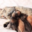 Cat nursing her kittens — Stock Photo #76928621