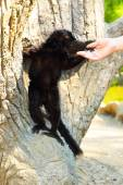 Black lemur — Stock Photo