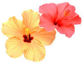 Two colored hibiscus — Stock Photo