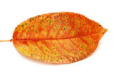 Dry autumn leaf  — Stock Photo