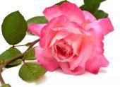 Piękna róża różowy — Zdjęcie stockowe