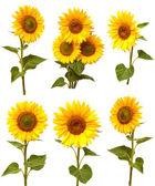 Sunflowers collection  — Stock Photo