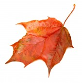 Red leaf  — Stock Photo