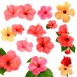 Collection of colored hibiscus — Stock Photo #56700813