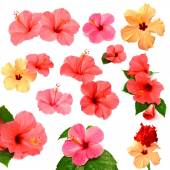 Collection of colored hibiscus — Stock Photo