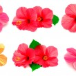 Collection of colored hibiscus — Stock Photo #60045831