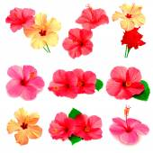 Collection of colored hibiscus — 图库照片