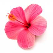 Pink hibiscus — Stock Photo