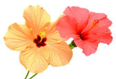 Two colored hibiscuses — Стоковое фото