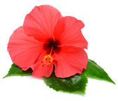 Pink hibiscus with leaves  — Stock Photo