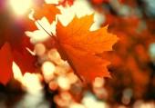 žlutá javorový list — Stock fotografie
