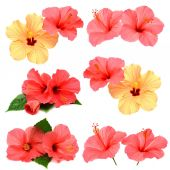 Collection of colored hibiscus with leaves — Stock Photo
