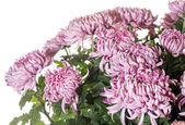 Magenta chrysanthemums — Stock Photo