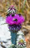 Bees over flowers weeds (closeup) — Stock Photo