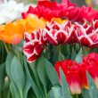 Multicolored tulips on spring flowerbed. — Stock Photo #55188061
