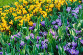 Spring variegated crocuses (macro) — Stock Photo
