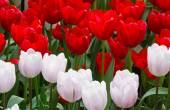Red and white tulips closeup. — Stock Photo