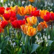 Multicolored tulips on spring flowerbed. — Stock Photo #56211423