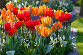 Multicolored tulips on spring flowerbed. — Stock Photo