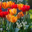 Multicolored tulips on spring flowerbed. — Stock Photo #57019293