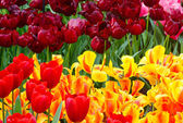 Spring red and yellow tulips close-up. — Stock Photo