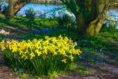 Yellow narcissus in park. — Stock Photo