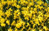 Yellow daffodils (spring background) — Stock Photo