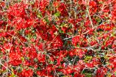 Japanese Quince branch — Stock Photo