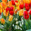 Multicolored tulips on spring flowerbed. — Stock Photo #61317701
