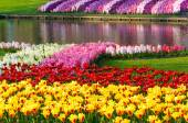 Spring yellow tulips and varicolored hyacinths — Stock Photo