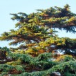 Big evergreen pine tree on sky background — Stock Photo #67369985