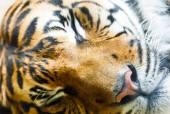Schlafende tiger — Stockfoto