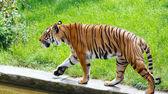 Walking tiger — Stock Photo