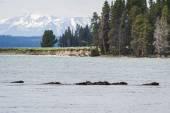 Wild bison herd — Stock Photo